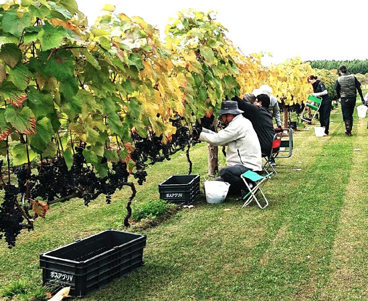 ワイン用の葡萄の収穫